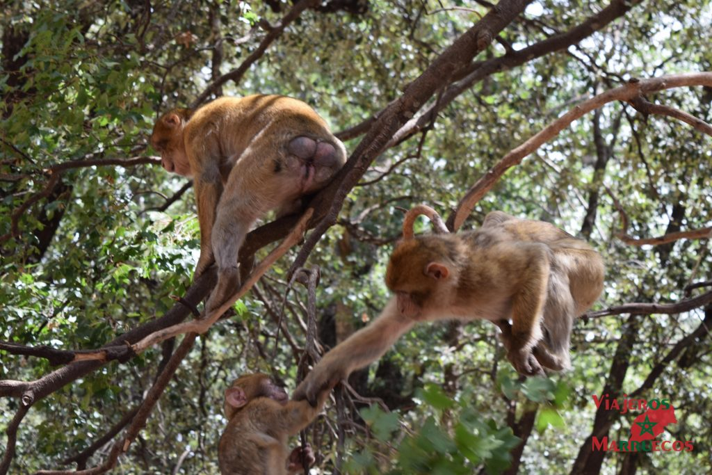 Familia de macacos en un cedro en Azrou