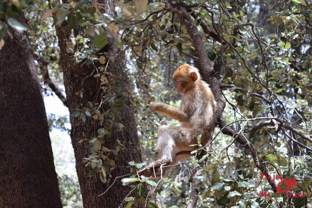Mono comiendo cacahuetes en Azrou